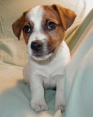 Фокстерьер щенок