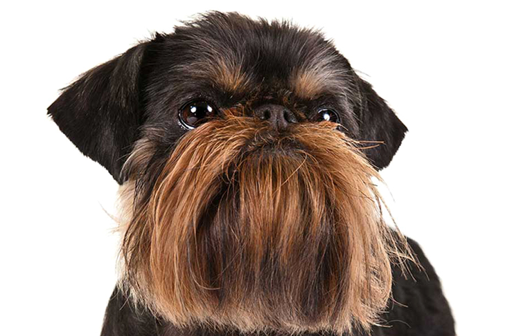 Малая бельгийская собака