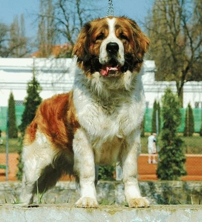 Собака Московская сторожевая