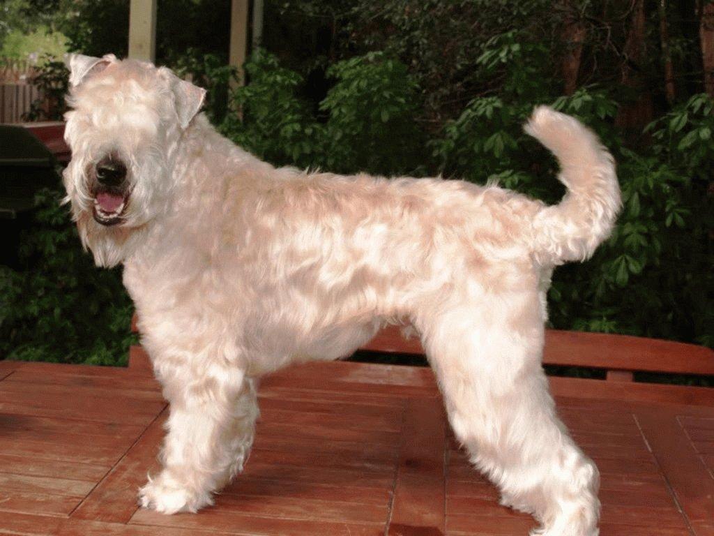 Собака Мягкошерстный пшеничный терьер
