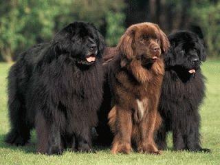 Собаки породы Ньюфаундленд