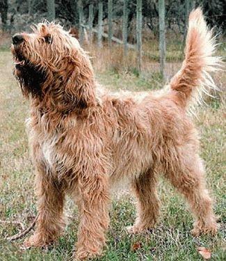 Собака Оттерхаунд