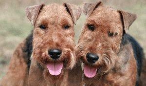 Собаки Вельштерьер
