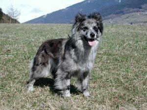 Пиренейская овчарка на прогулке