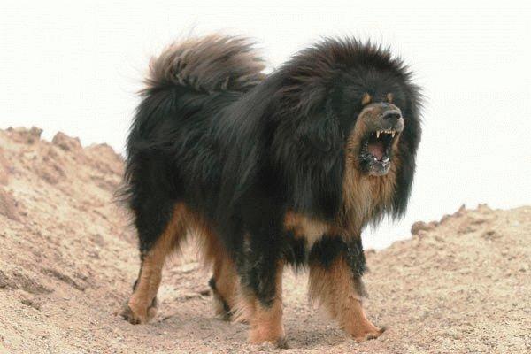 Собака Пиренейский мастиф в гневе