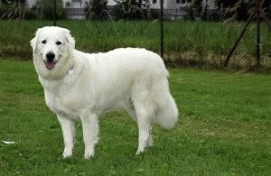 Собака польская Подгалянская овчарка
