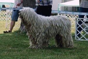 Собака Венгерская овчарка