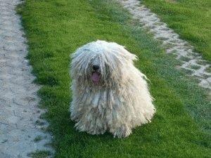 Собака Пули