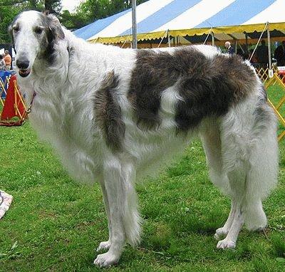 Собака Русская борзая