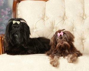Собаки породы русская цветная болонка