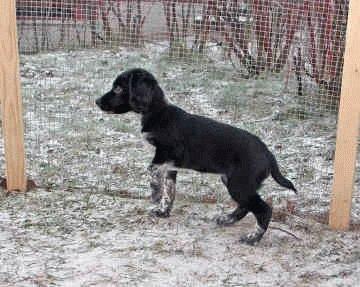 Собака Русский охотничий спаниель
