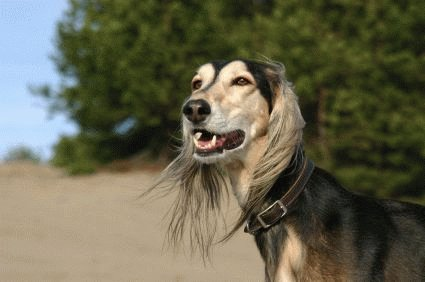 Порода собак салюки и ее характеристики с фото
