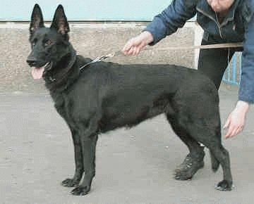 Собака Восточноевропейская овчарка