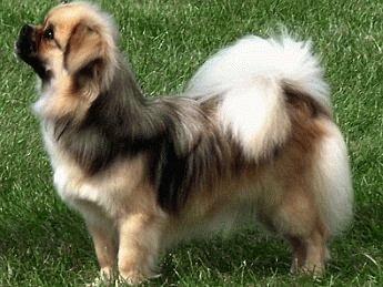Собака Тибетский спаниель