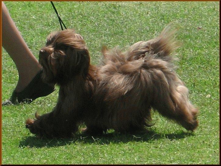 Собака Гаванский бишон