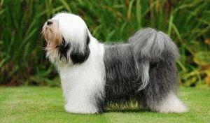 Собака Тибетский терьер