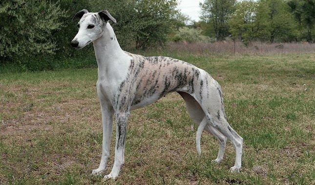 Собака Уиппет