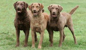 Собаки Чесапик бей ретриверы