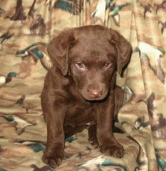 Шоколадный щенок Чесапик бей ретривера