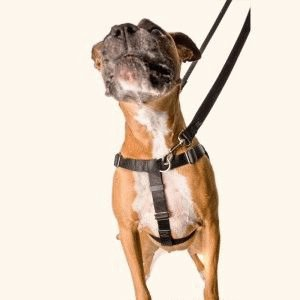 Как одеть шлейку на собаку