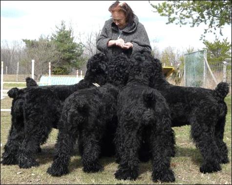 Семья чёрных русских терьеров