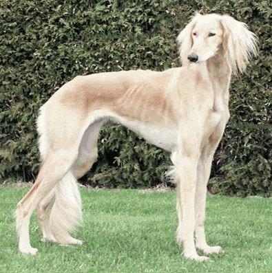 Палевая собака Салюки