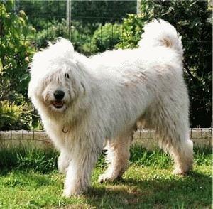Белая Южнорусская овчарка