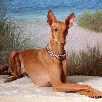 Внешность Фараоновой собаки