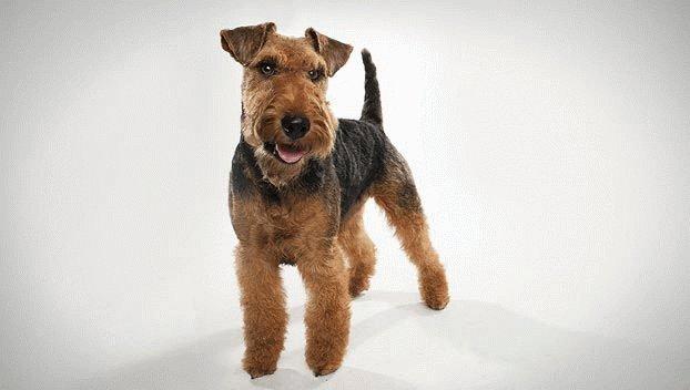 Собака-друг Вельштерьер