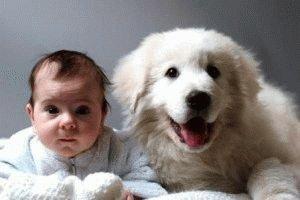 Щенок Мареммы с ребёнком