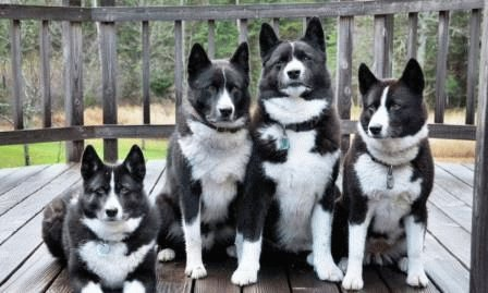 Карельские медвежьи собаки