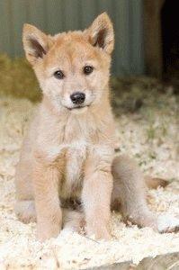 Динго щенок