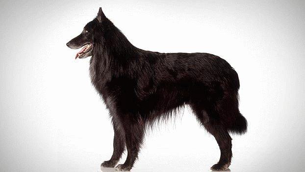 Собака породы Бельгийская овчарка
