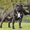 Собака-компаньон Стаффордширский бультерьер