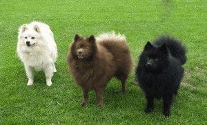 Собаки породы Карликовый шпиц