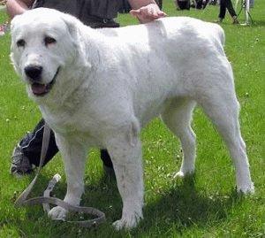 Собака Среднеазиатская овчарка