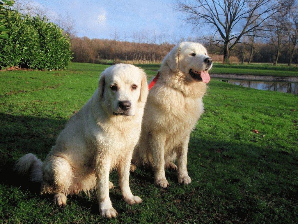 Собаки породы Польская подгалянская овчарка