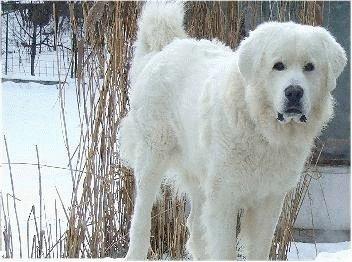 Польская подгалянская овчарка зимой