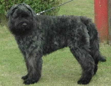 Собака Фландрский бувье