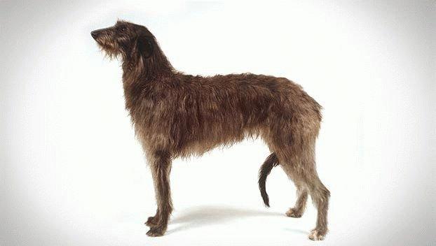 Порода собаки Дирхаунд