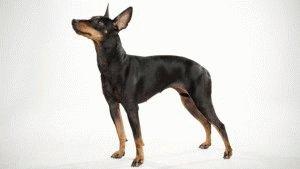 Порода собаки Манчестерский терьер