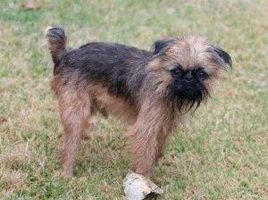 Собака породы Брюссельский грифон