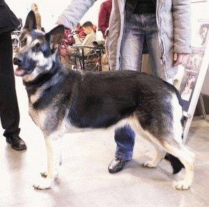Порода собаки Восточноевропейская овчарка