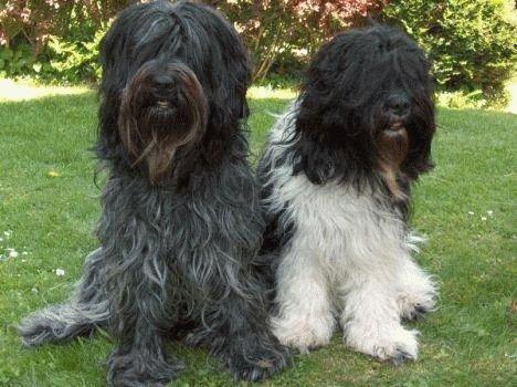 Собаки породы Шапендус