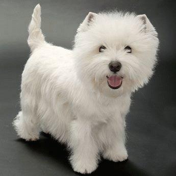 порода собак вест хайленд уайт терьер