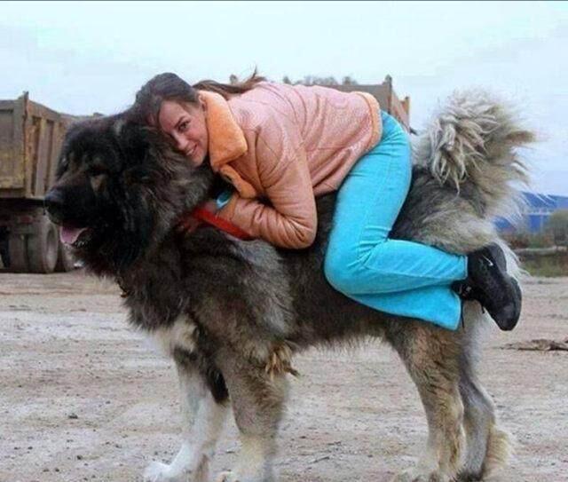 Крупный Тибетский мастиф
