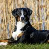 Аппенцелльская пастушья собака