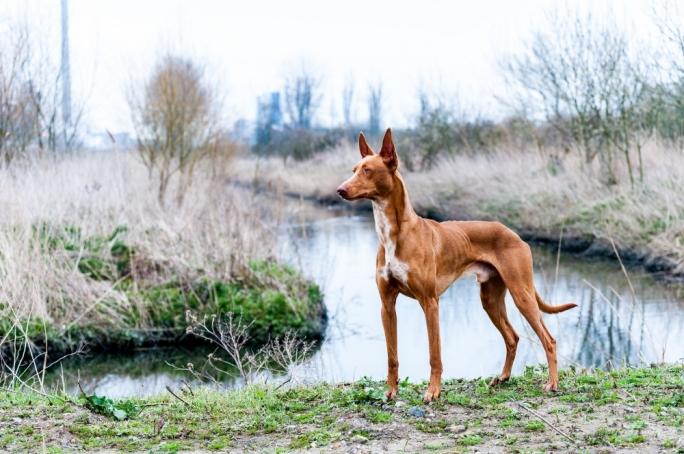 Собака-Фараон