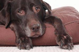 Угнетение, вялость и снижение аппетита у собаки