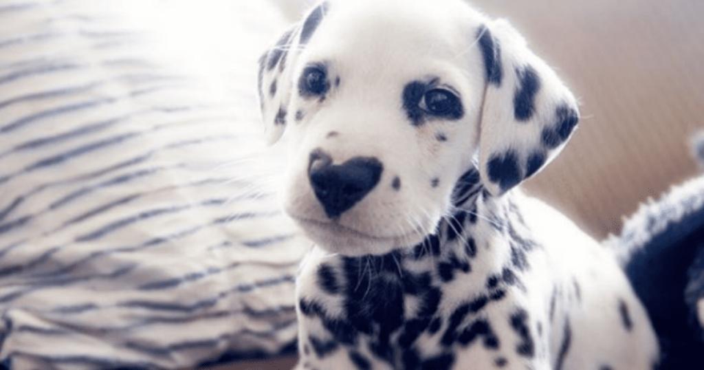 далматинец фото щенки 1 месяц